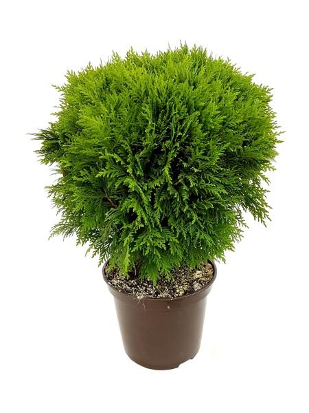 Lebensbaum 'Danica' Kugel - Thuja occidentalis (26cm Topf, 40-50cm)