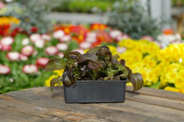 Roter Eichblattsalat - Lactuca sativa (6 Jungpflanzen)