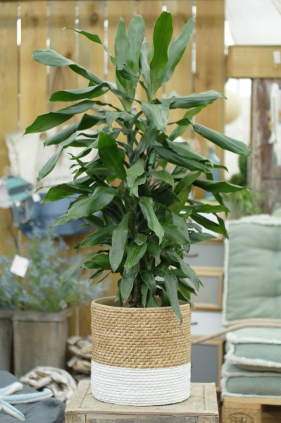 Drachenbaum 'Janet Lind' - Dracaena fragrans (21cm Topf, 80-100cm)