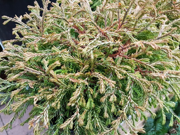 Lebensbaum 'Golden Tuffet' - Thuja occidentalis (17cm Topf)
