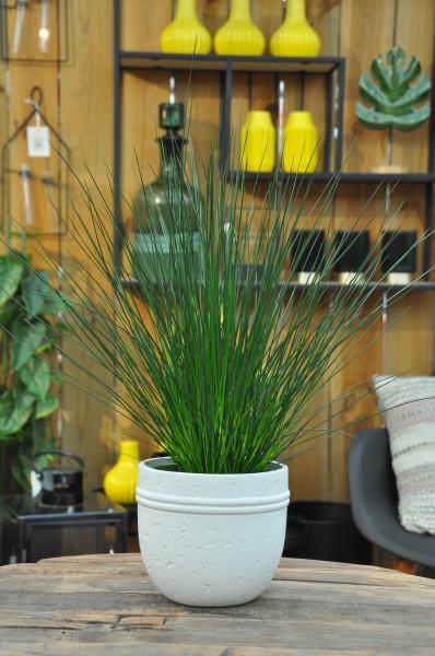 Flatter-Binse 'Pencil Grass' - Juncus effusus (12cm Topf, 30-50cm)