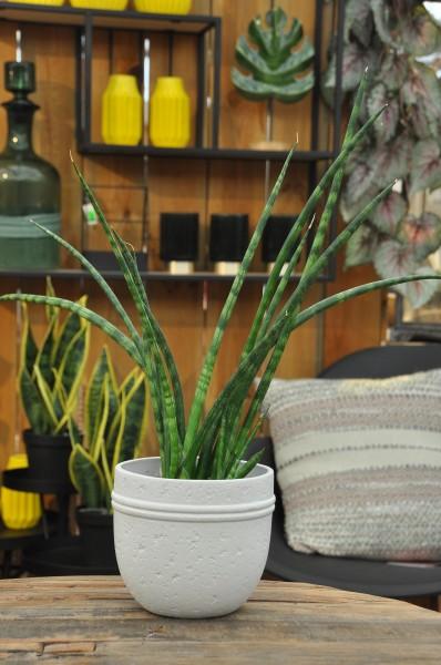 Bogenhanf 'Straight' - Sansevieria (12cm T, 30-40cm)