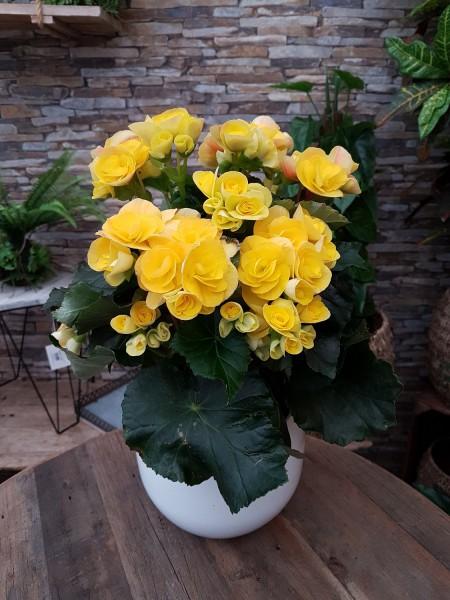 Elatior-Begonie gelb - Begonia elatior (13cm Topf, 25-35cm Höhe inkl. Kulturtopf)