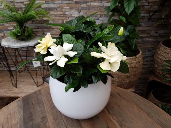 Gardenie weiß - Gardenia jasmino. (13cm Topf, 25-35cm)