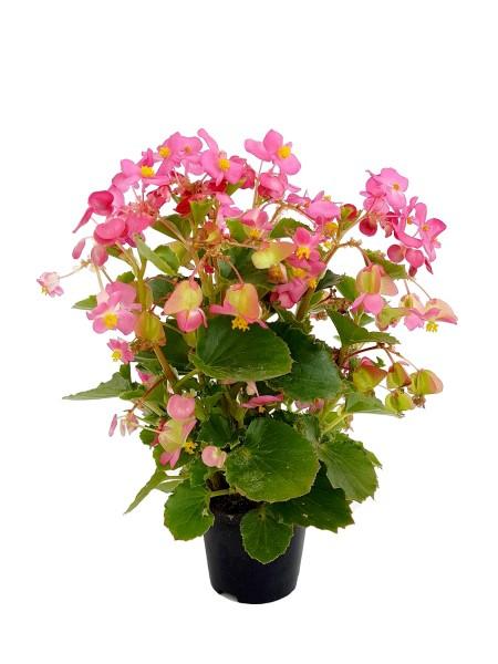 Eisbegonie rosa - Begonia semperflorens (15-30cm Höhe inkl. Kulturtopf)