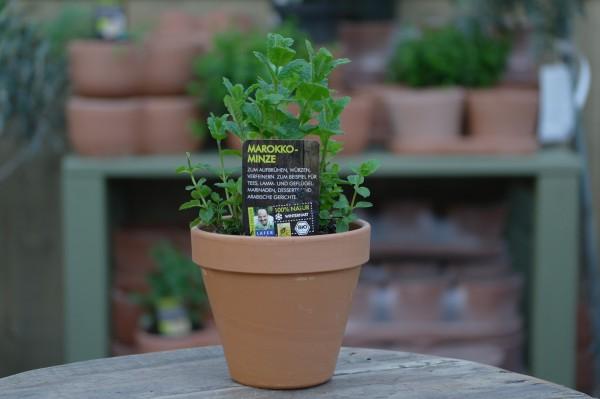 LA'BIO! Marokko Minze - Mentha spicata var. crispa (13cm Topf)