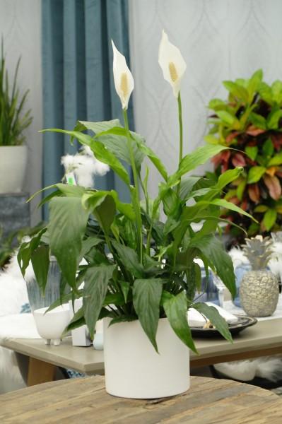 Friedenslilie weiß - Spathiphyllum (13cm Topf, 40-60cm Höhe inkl. Kulturtopf)