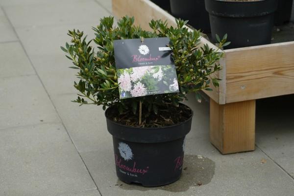 Bloombux® Pink - Rhododendron micranthum (C5, 30-40cm Höhe inkl. Kulturtopf)