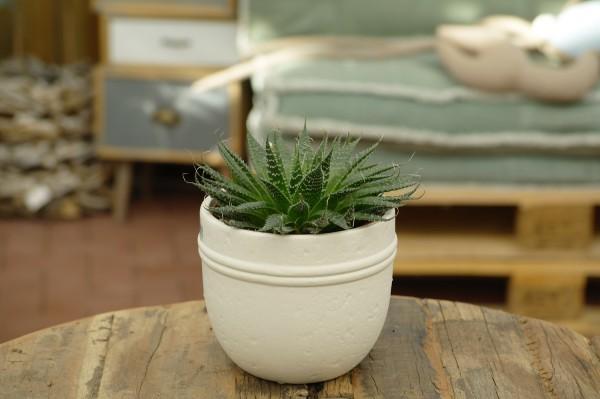 Aloe - Aloe aristata (12cm Topf, 20-25cm)