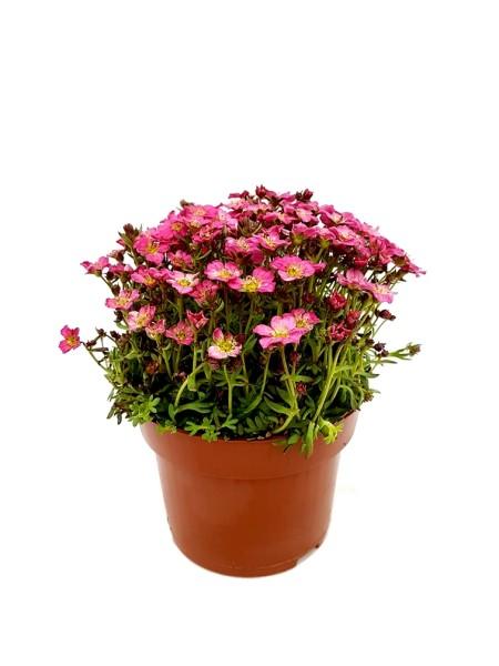Moos-Steinbrech pink - Saxifraga x arendsii (12cm T., 10-25cm Höhe inkl. Kulturtopf)