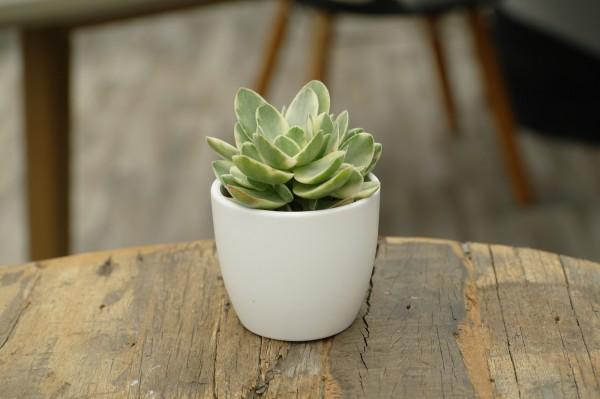Geldbaum 'Jade Magic' - Crassula arbor. (Minipflanze, 6cm Topf)