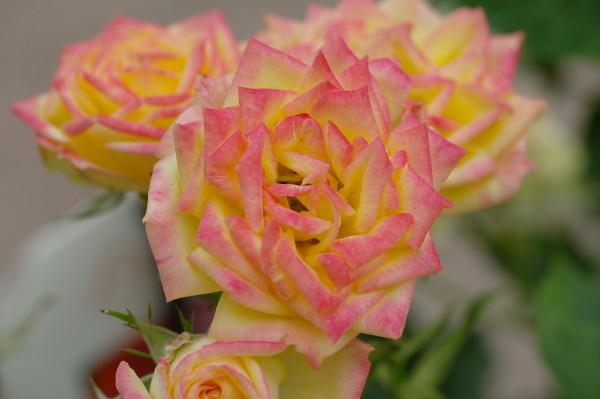 Zwergrose 'Little Sunset'® - Rosa (C5)