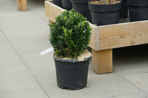 Japanspindel 'Green Wonder' - Euonymus (C5, Kugel, 40-60cm)