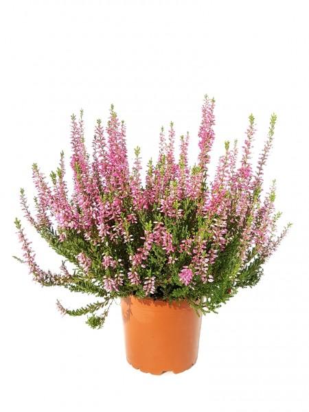 Besenheide 'Garden Girls' (Premiumqualität) pink - Calluna vulgaris (12cm Topf, 25-35cm)