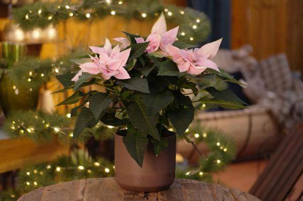 Weihnachtsstern 'J'Adore Soft Pink' - Euphorbia pulch. (12cm Topf, 20-40cm Höhe inkl. Kulturtopf)