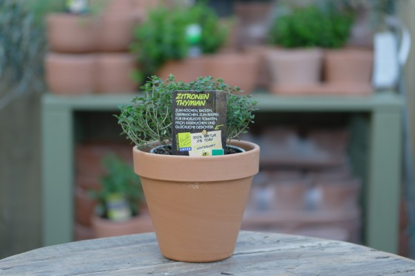 LA'BIO! Zitronenthymian - Thymus citriodorus (13cm Topf)