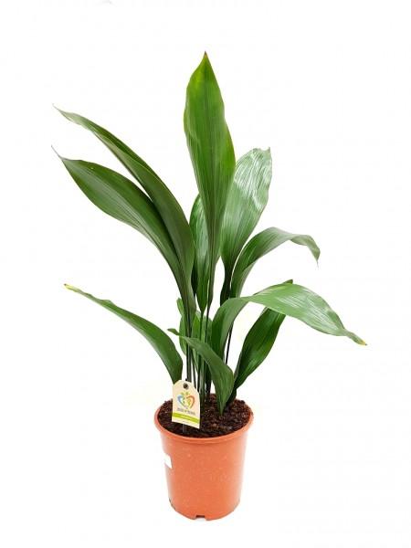 Schusterpalme - Aspidistra elatior (19cm Topf, 30-50cm)