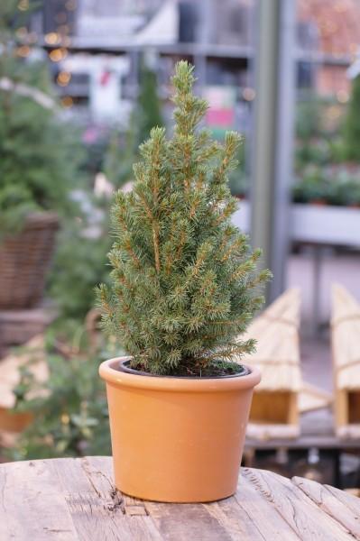 Zuckerhut-Fichte 'Conica' - Picea glauca (15cm Topf)
