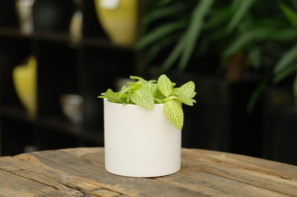 Mosaikpflanze 'Mini Lemon' - Fittonia verschaff. (8,5cm Topf, 10-15cm
