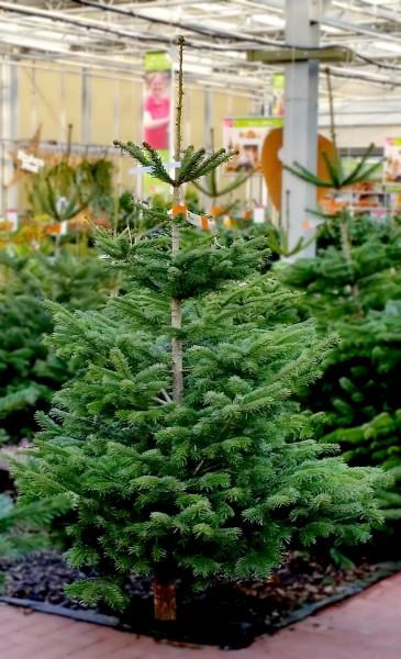 Nordmanntanne (225-250cm) - Weihnachtsbaum - aus Schleswig-Holstein