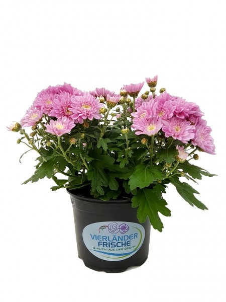 Chrysantheme 'Yahou' hellrosa - Chrysanthemum (12cm Topf, 20-30cm)