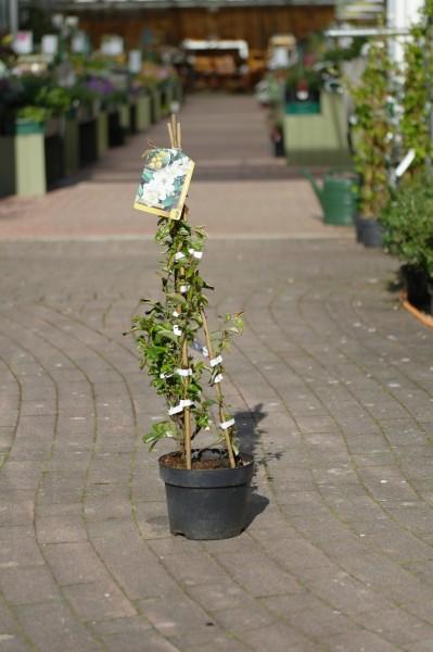 Zierquitte 'Nivalis' - Chaenomeles japonica (C3, 40-60cm)