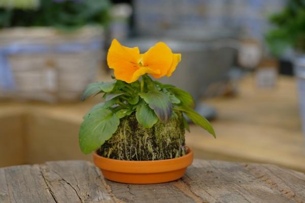 Stiefmütterchen orange - Viola F1 wittrockiana (Erdpresstopf)