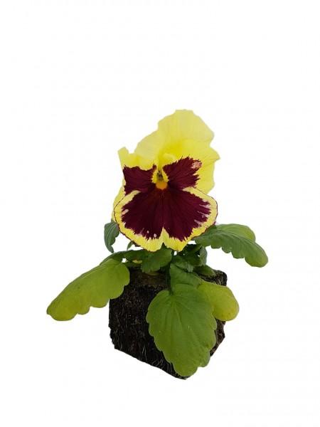 Stiefmütterchen rot-gelb - Viola F1 wittrockiana (Erdpresstopf)