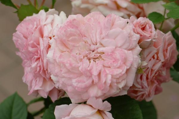 Beetrose 'Amaretto'® ADR-Rose - Rosa (C5)