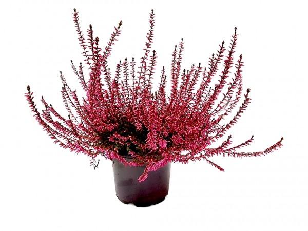 Besenheide gefärbt (Premiumqualität) rot - Calluna vulgaris (12cm Topf, 25-35cm)