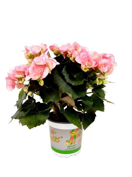 Elatior-Begonie rosa-weiß - Begonia elatior (13cm Topf, 25-35cm)