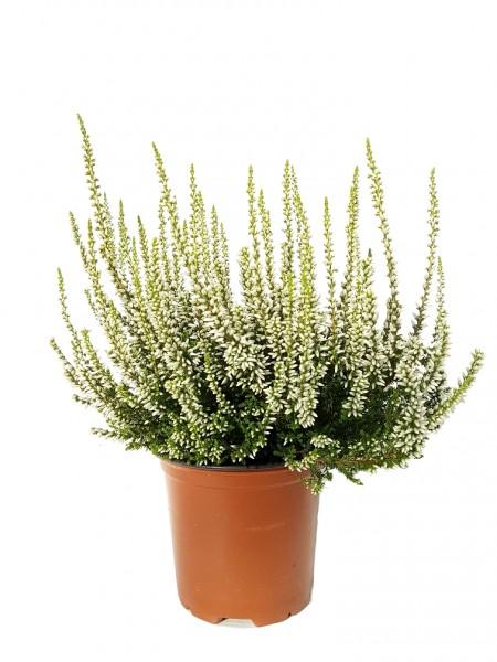 Besenheide 'Garden Girls' weiß - Calluna vulgaris (11cm Topf, 15-25cm)