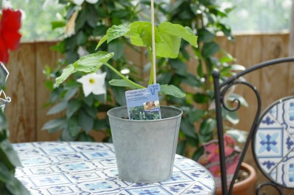 Schlangengurke 'Cyrano'® - Cucumis sativum (12cm Topf, veredelt)