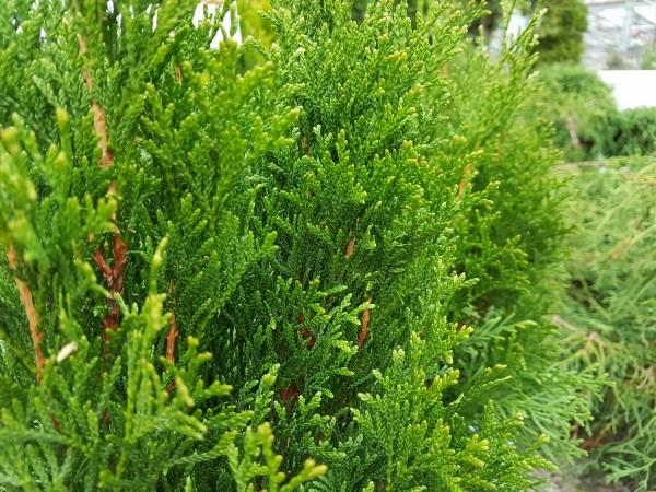 Lebensbaum 'Smaragd' Kegel - Thuja occidentalis (17cm Topf)