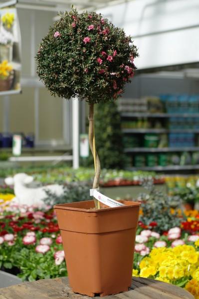 Südseemyrte 'Coral Candy' - Leptospermum (19cm Topf, 70-90cm)