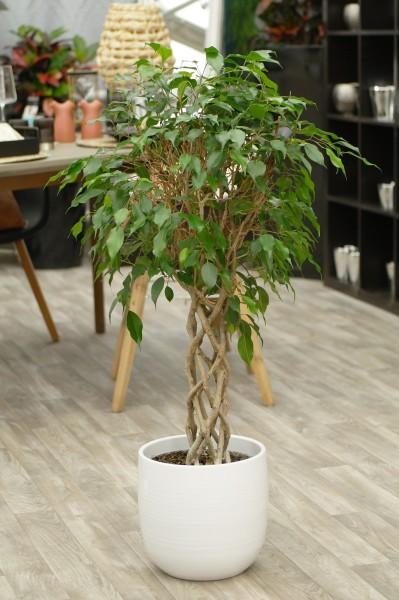 Birkenfeige 'Exotica' geflochtener Zylinder-Stamm - Ficus benjamini (24cm Topf, 90-120cm)