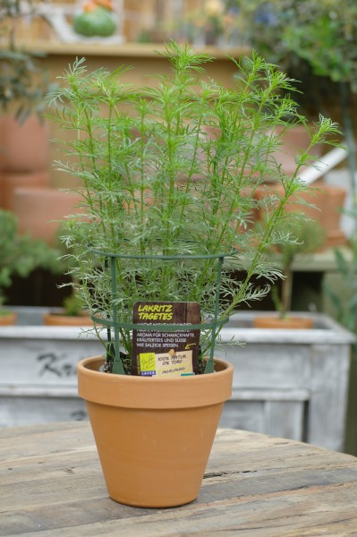 LA'BIO! Lakritz-Tagetes - Tagetes filifolia (13cm Topf)