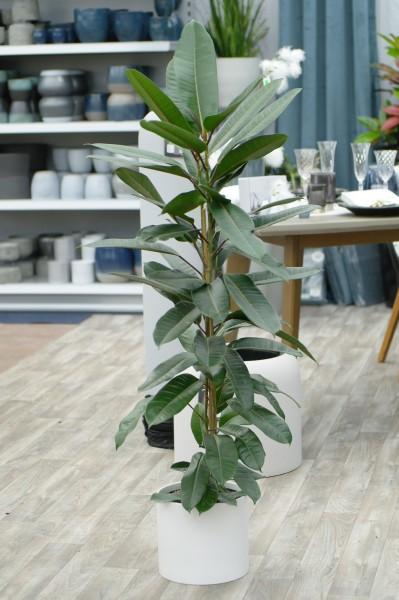 Feige 'Trésor' - Ficus americana (C4, 90-120cm)