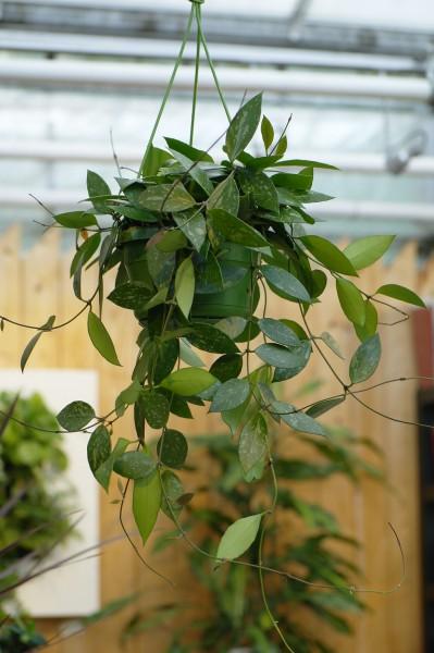 Wachsblume - Hoya gracilis (14cm Topf, 30-40cm)