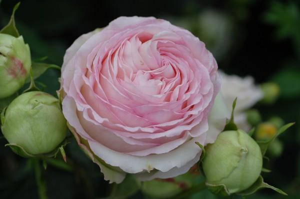 Strauchrose 'Eden Rose 85'® - Rosa (C7,5, gestäbt)