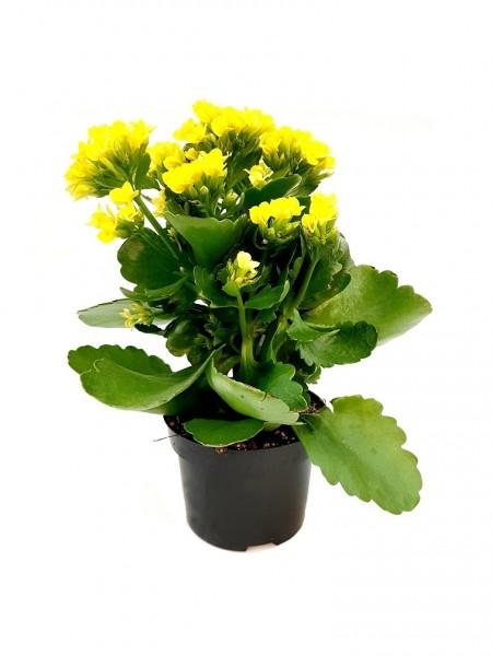 Flammendes Käthchen gelb - Kalanchoe blossfel. (11cm Topf, 15-25cm)