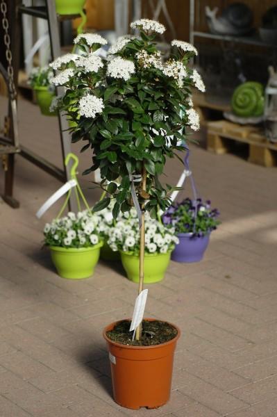 Schneeball - Viburnum tinus (21cm Topf, Sta, 50-70cm)