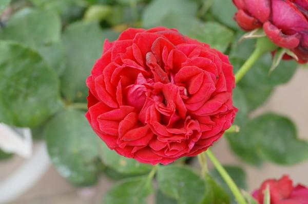 Beetrose 'Till Eulenspiegel'® - Rosa (C5)