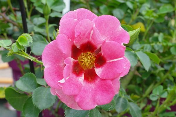 Beetrose 'Eye to eye' - Rosa (C4,6)