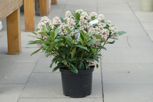 Japanische Blütenskimmie 'Rubella' - Skimmia japonica (C5, 40-60cm)