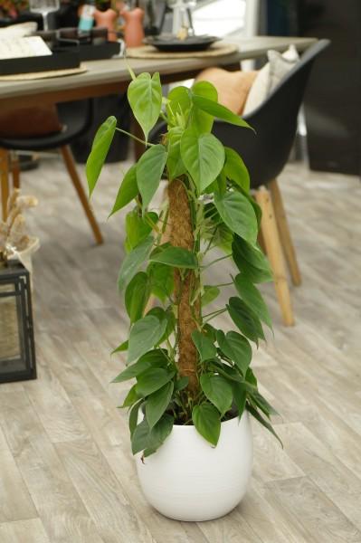 Baumfreund - Philodendron (19cm T., Säule, 70-90cm)