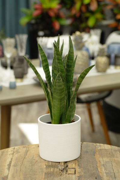 Bogenhanf 'Javanica' - Sansevieria cylindrica (11cm T., 30-40cm