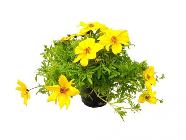 Goldmarie gelb - Bidens ferulifolia (12cm Topf, 15-25cm Höhe inkl. Kulturtopf)