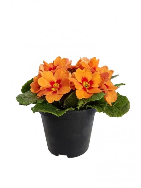 Primel 'Ringostar Orange Red' (Stängellose Schlüsselblume) - Primula vulgaris (9cm Topf)