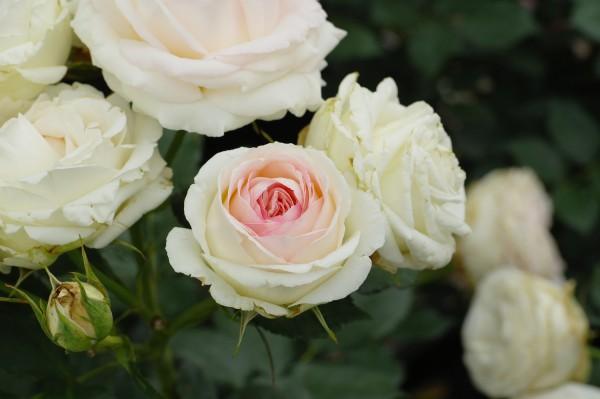 Strauchrose 'Eden Rose 85'® - Rosa (C4)